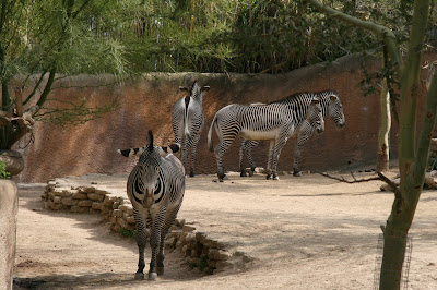 Zebras at LA Zoo