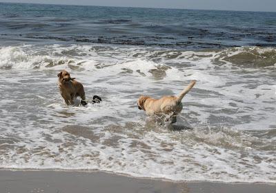 Chasing sticks at Arroyo Burro dog beach