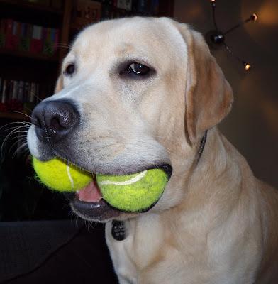 2 tennis balls Labrador