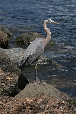 Long Beach port heron