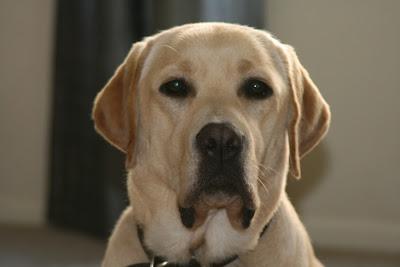 Perfect yellow Labrador face