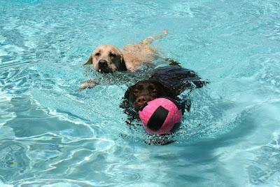 Pool Labrador ball games