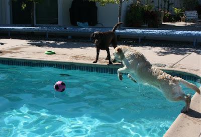 Pool Labradors