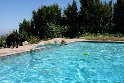 Leaping pool Labrador