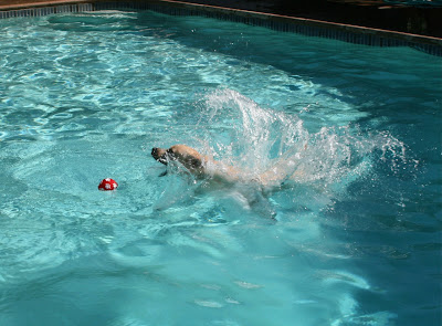 Labrador pool splash