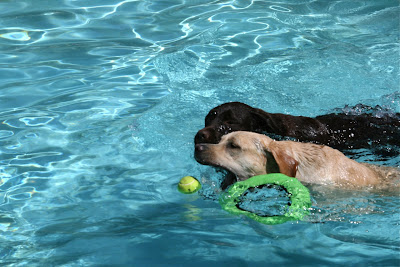 Racing pool Labradors