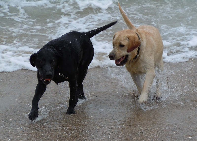 Huntington Beach Labradors