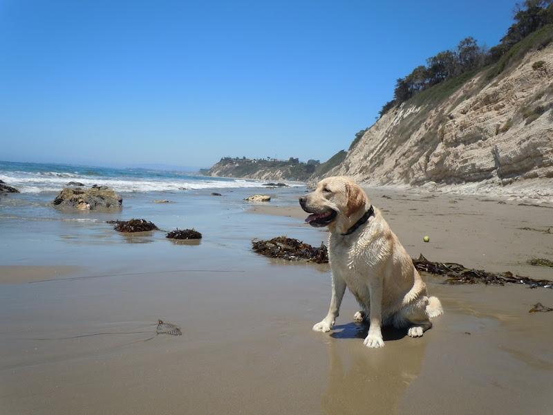 Hendry's Beach Yellow Labrador