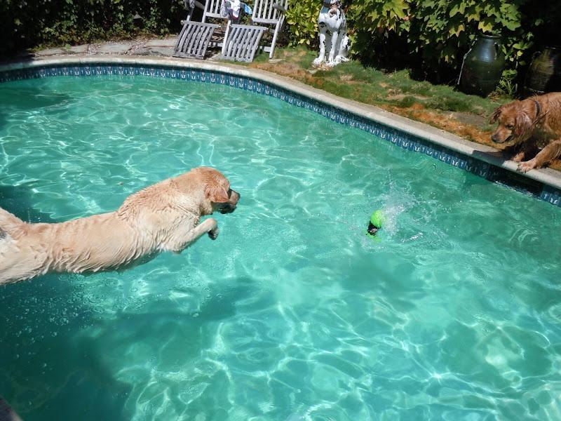 Labrador Cooper diving coach