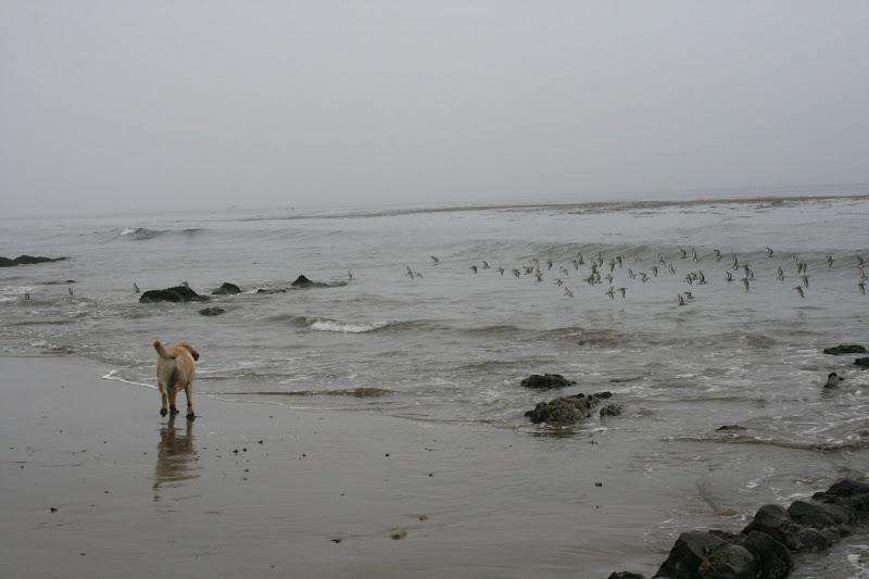 Cooper chasing plovers Hendry's Beach