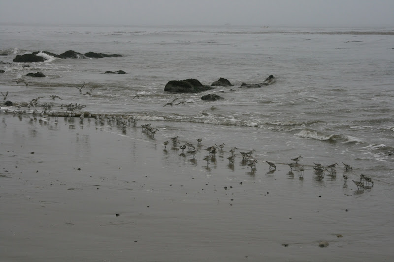 Hendry's Beach plovers