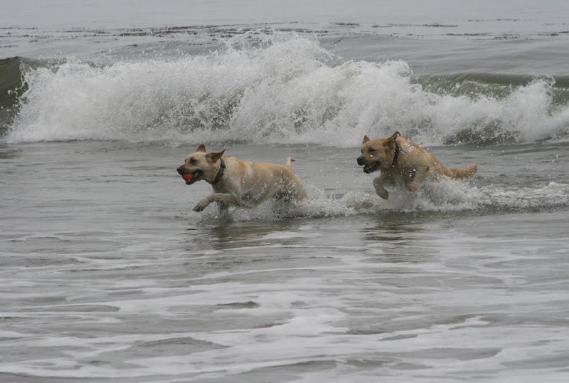 Labradors playing at Hendry's Beach