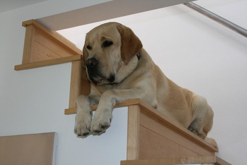 Staircase Labrador Cooper