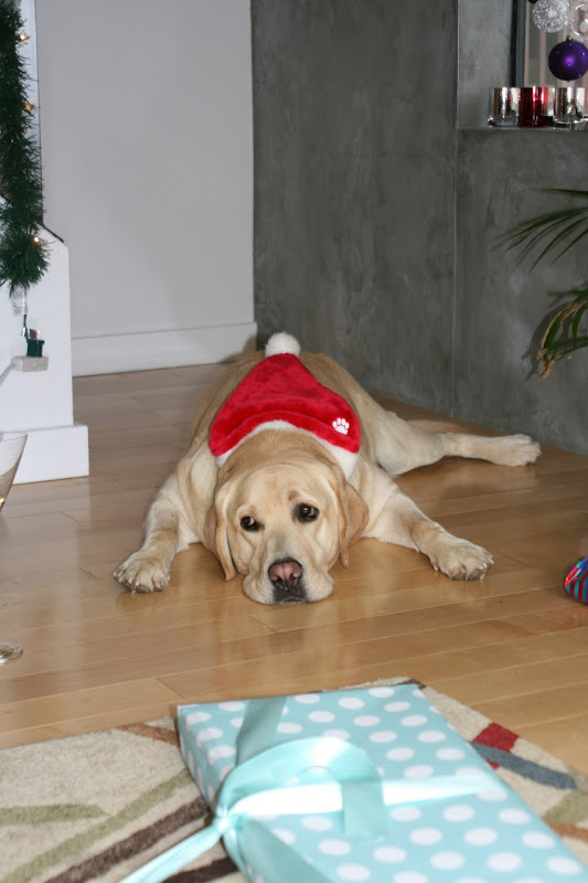 Santa Hat yellow Labrador