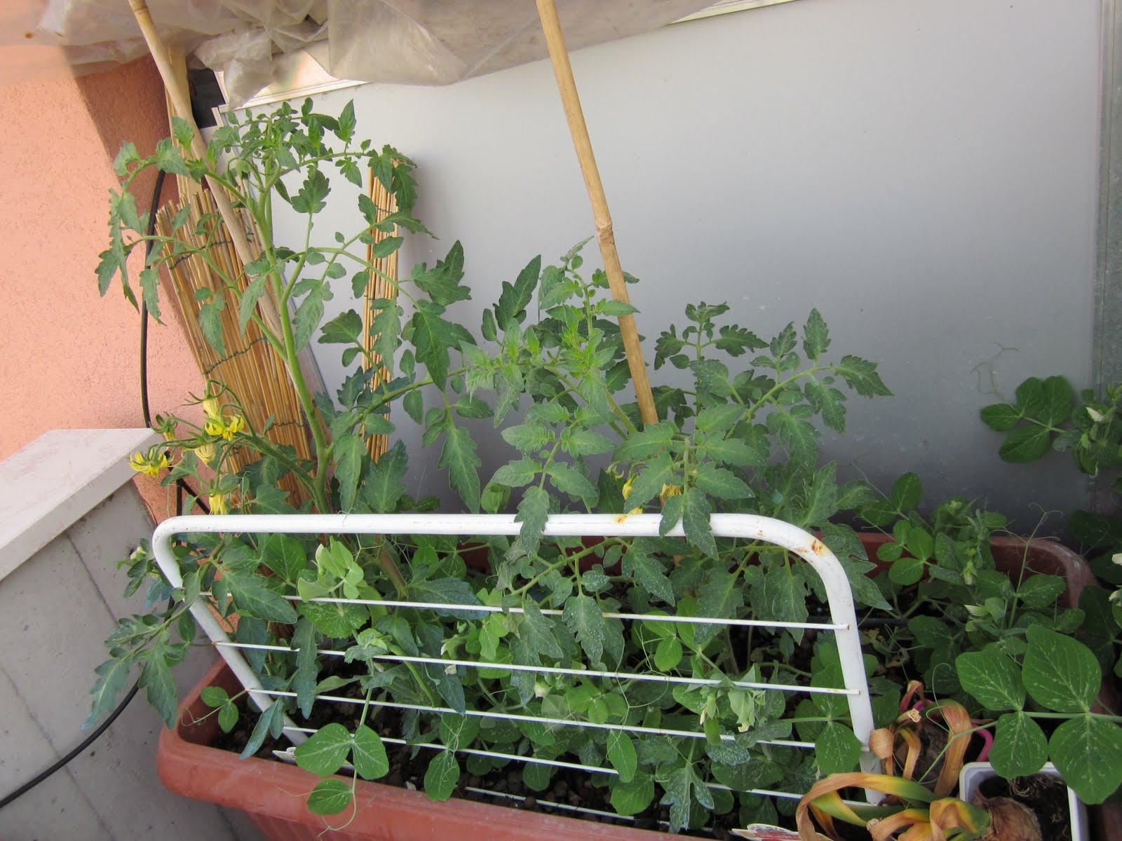 L\'ORTO SUL BALCONE E TERRAZZO DI CASA: pomodoro in fiore e concimazioni