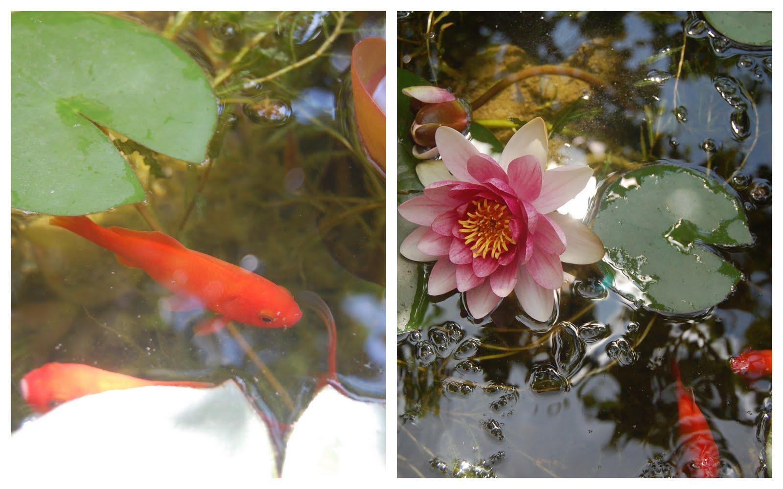 Di bianco e d 39 azzurro ninfee e pesci rossi for Pesci rossi piccoli