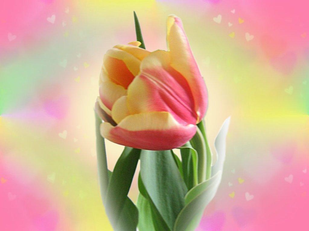 Pink Petalled Tulip - A Poem