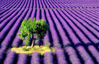 lavender farm scenery