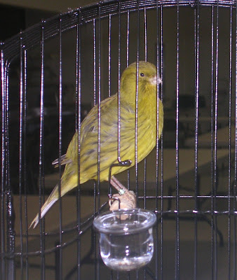 trifles symbolism and canary bird Symbolism of the bird in trifles susan glaspell s trifles is a play revolving around the murder of john wright and his wife, minnie wright, who is a.