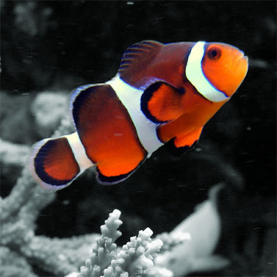 Aquarium lore clownfish for Clown fish for sale
