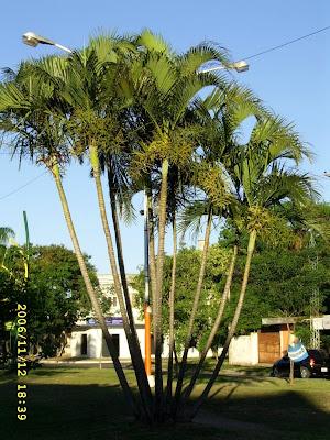 Palmeras en la ciudad de resistencia dypsis lutescens - Variedades de palmeras de exterior ...