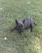 Gracie, My Scottish Terrier