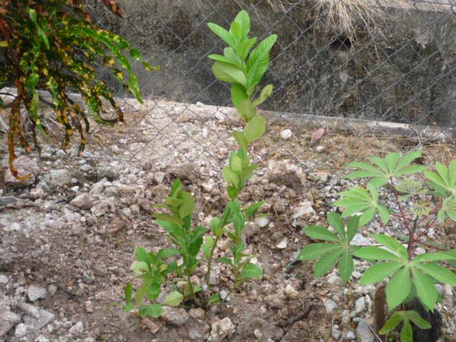 Pokok lemon yang baru juga ditanam sama dengan anak pokok buluh madu.