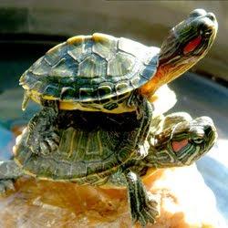 Pet Turtle Care: How to set up a turle aquarium Pet Turtle Care
