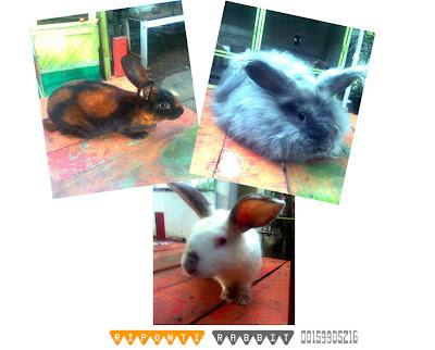 kelinci rabbit