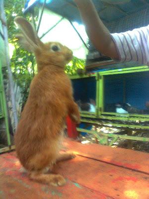 kelinci satin kuning