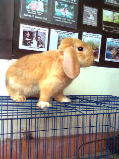 holland lop kelinci