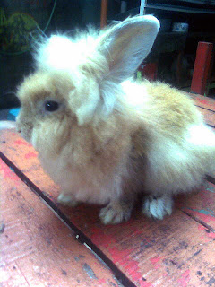 harga kelinci hias