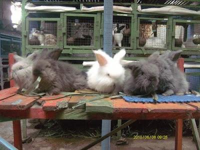 kelinci angora anakan