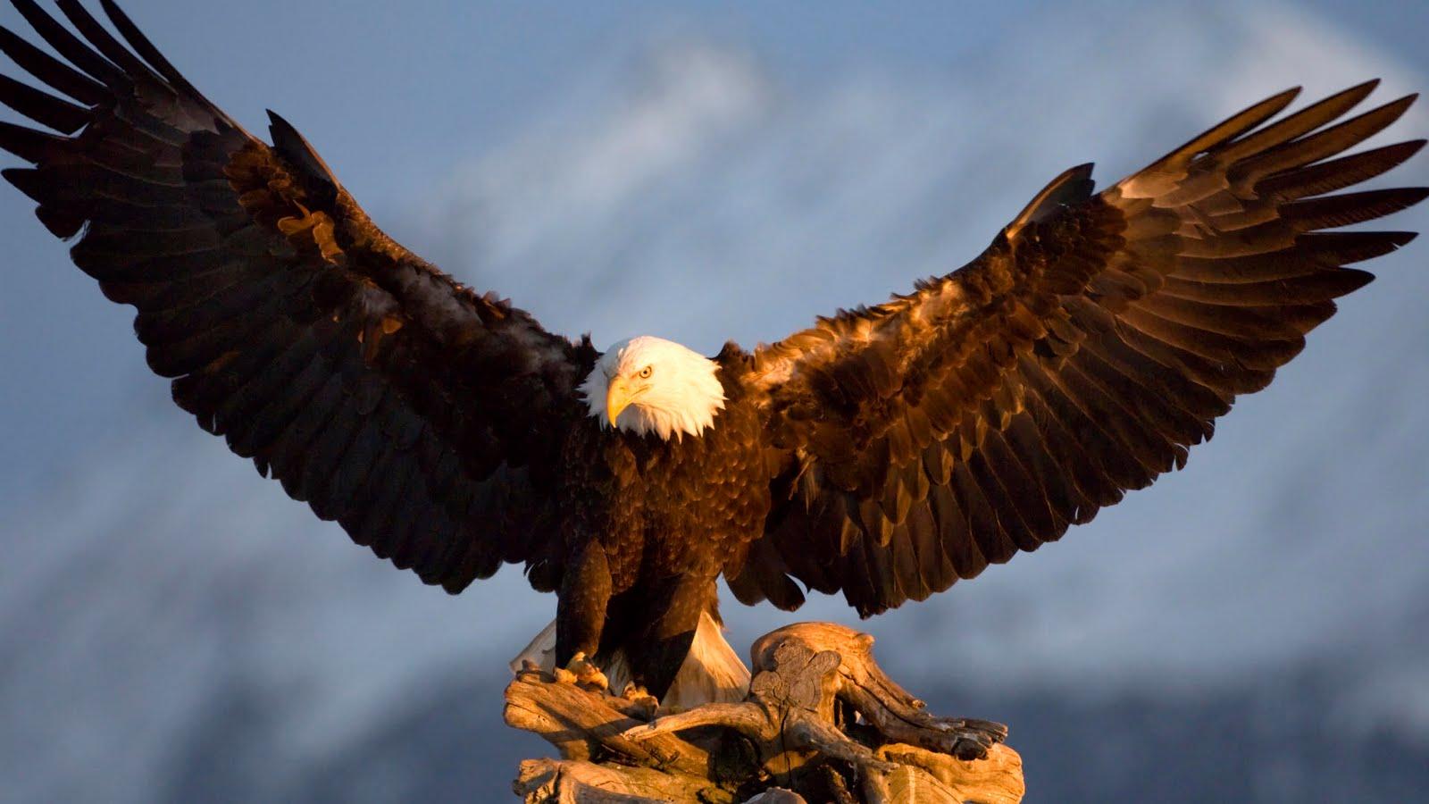 [Imagen: Bald+Eagle,+Kachemak+Bay,+Kenai+Peninsula,+Alaska.jpg]