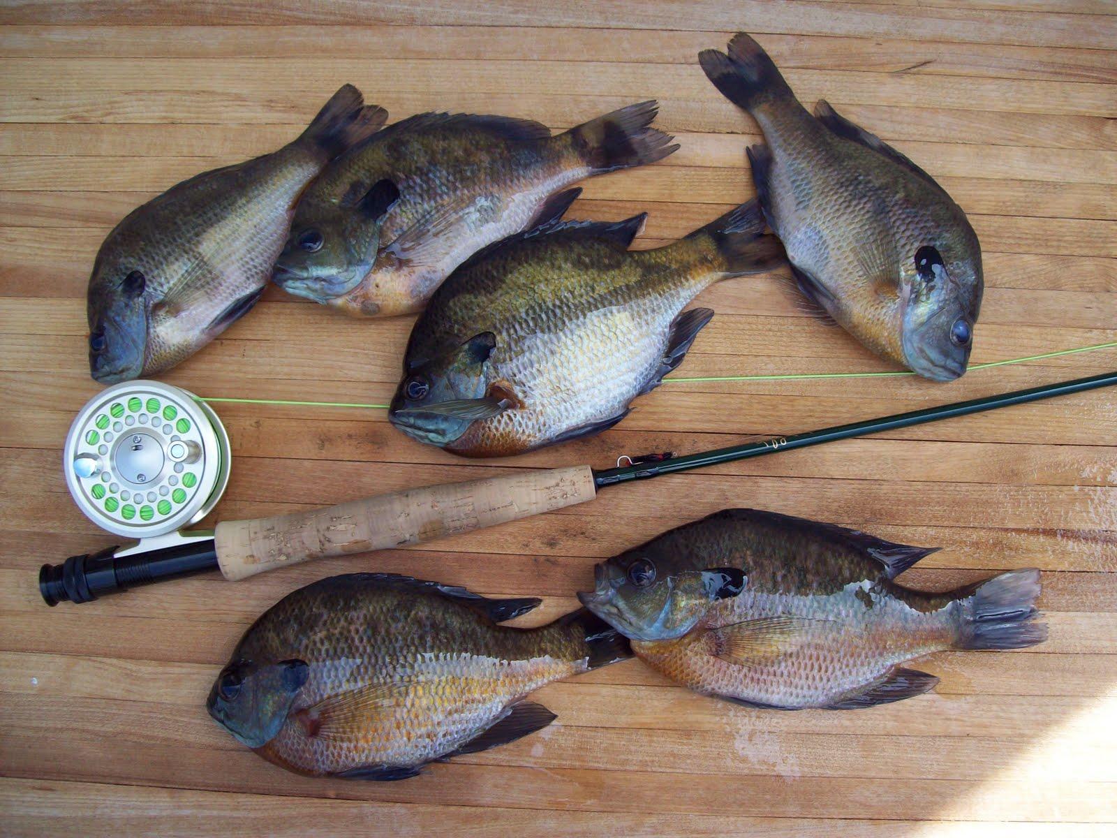 Fishing through life bluegill on my local lake for G loomis fish