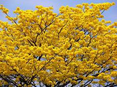 Día del árbol Araguaney es el Árbol Nacional celebrado el último domingo de Mayo