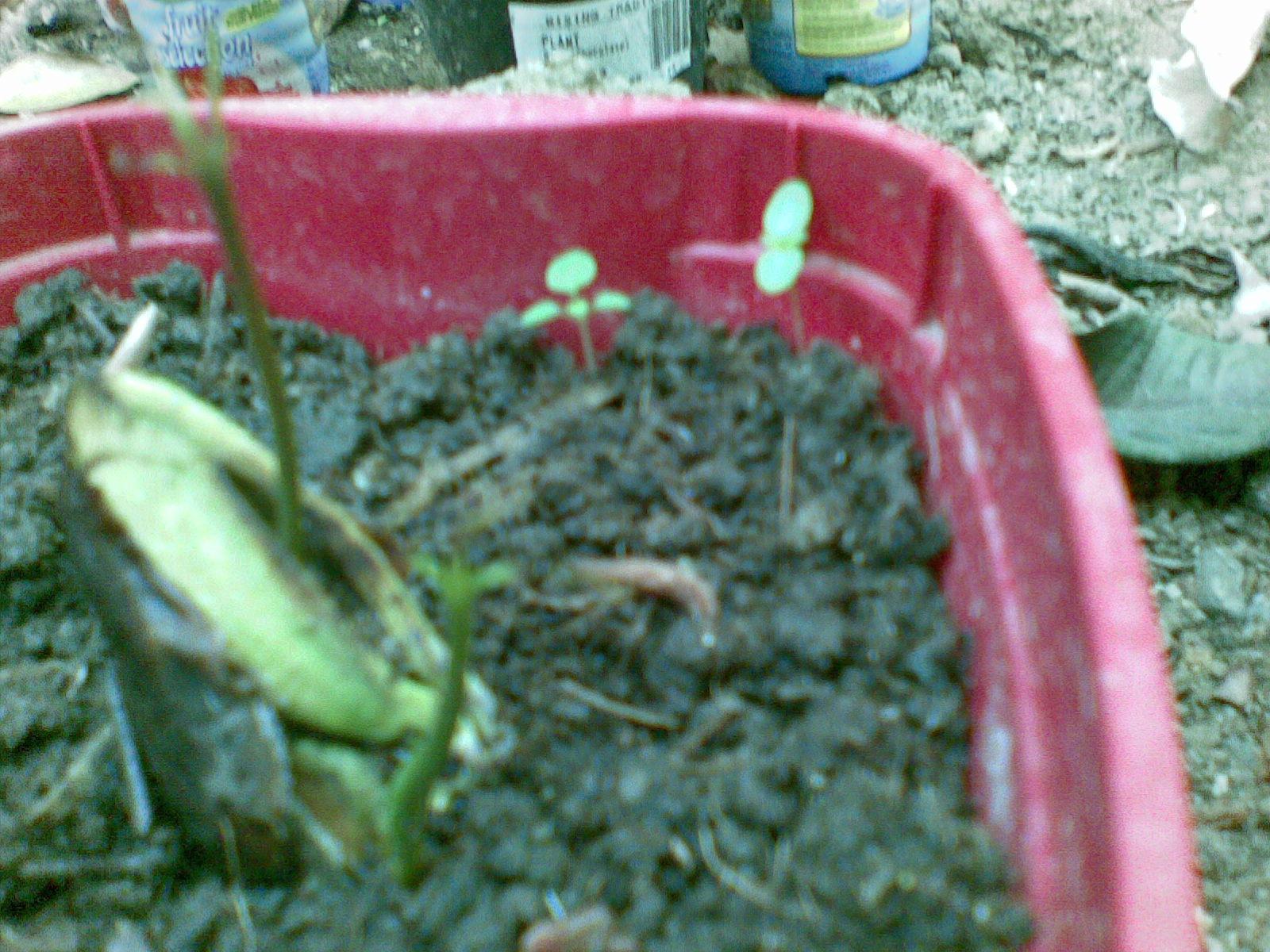 how to grow mongo seeds