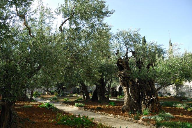 En el Monte de los Olivos. En uno de estos olivos milenarios Judas besó a Jesús