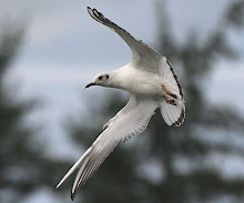 Black-headed Gull_2011