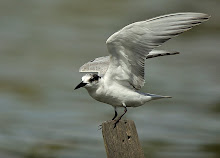 Whiskered Tern_2011