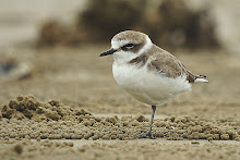 Kentish Plover_2011