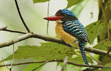 Banded Kingfisher_2011