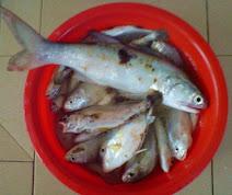 Spesis Ikan