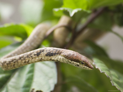 one of the fastest snakes in the world twig snakes
