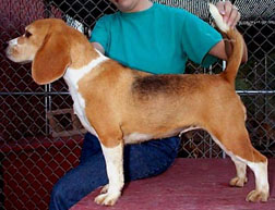 Beagle Shaded tricolor