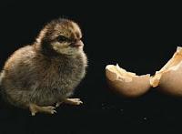 NAMC montessori classroom spring animal and nature activity study baby chick