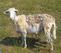 this second picture is another hair sheep called a quot sheddingquot  sheep