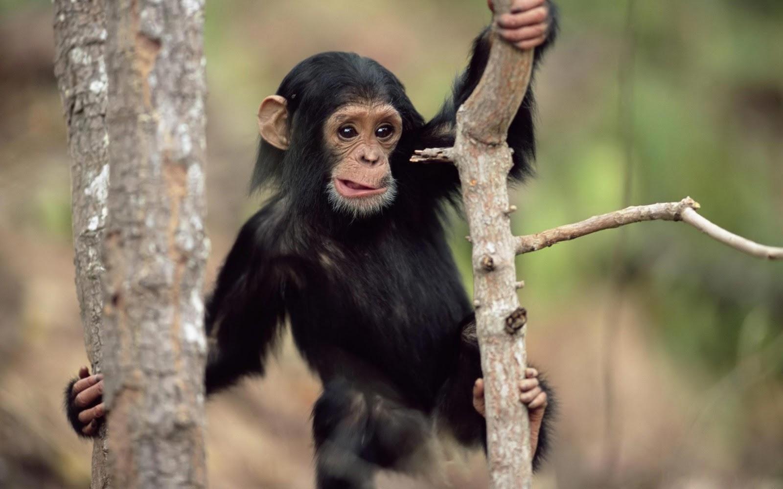 http://2.bp.blogspot.com/_Gi4plYyx3ww/TPqTsFHsTcI/AAAAAAAAAPw/J59jgSICwTY/s1600/Young_chimpanzee_High_definition_wallpaper.jpg