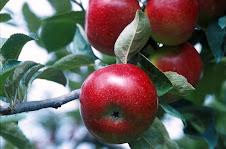 Colho minhas maçãs