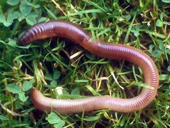 Littlesheep Learning: Worm Week